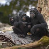 Шимпанзе. Где-то на юго-востоке Сенегала...