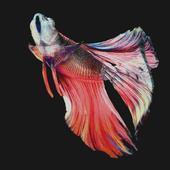 "Betta Fish ""Free Download 3D scene"""