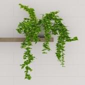 Комнатное вьющееся растение Хедера
