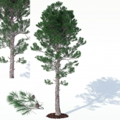 pine_3