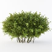Oval bush ( ПЕРЕ ЗАЛИВКА)