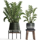 Коллекция растений 449. Долларовое дерево