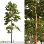 Сосна обыкновенная | Pinus sylvestris #23(22m)