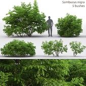 Бузина | Sambucus nigra # 3