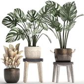 Коллекция растений 450. Монстера пестролистная