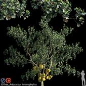 Artocarpus heterophyllus 02