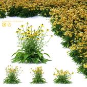 Рудбекия блестящая цветы | Rudbeckia fulgida
