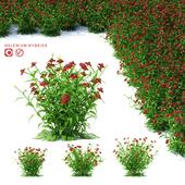Гелениум гибридный цветы | Helenium hybride