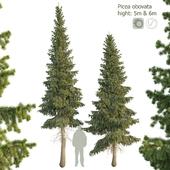 Ель сибирская Picea obovata 5м - 6м