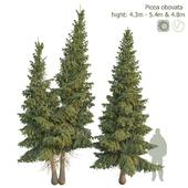 Ель сибирская Picea obovata 4.3м - 5.4м