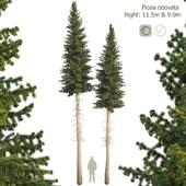 Ель сибирская Picea obovata 11.5м - 9.9м