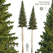 Ель сибирская Picea obovata 8.4м - 9.2м
