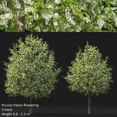 Черёмуха | Prunus Padus flowering #4