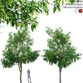 Michelia alba-White champaca-Michelia longifolia 02