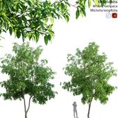 Michelia alba-White champaca-Michelia longifolia 03