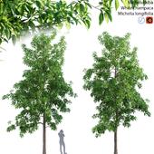 Michelia alba-White champaca-Michelia longifolia 01