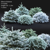 Glauca Globosa #2