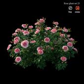 Rose plant set 25