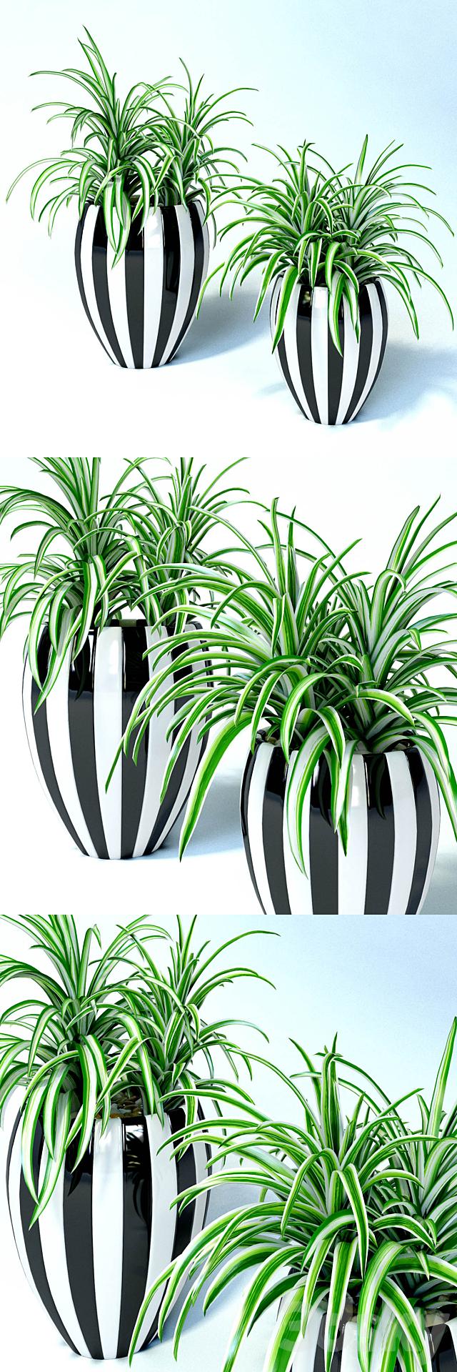 Chlorophitum in striped pots