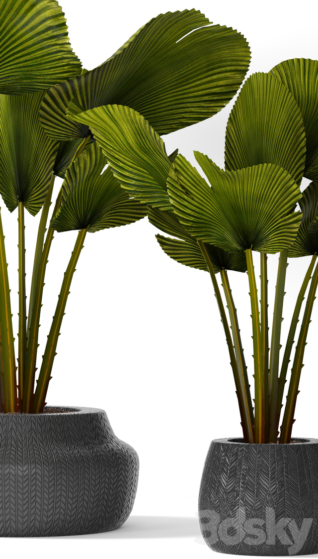 A collection of palms in pots 3