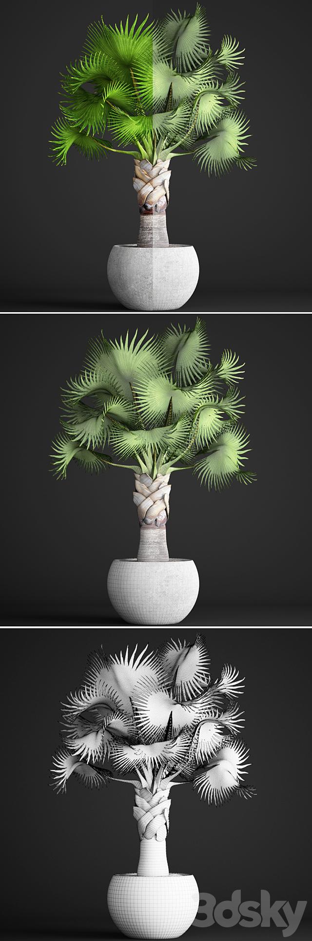 Bismarckia Nobilis green