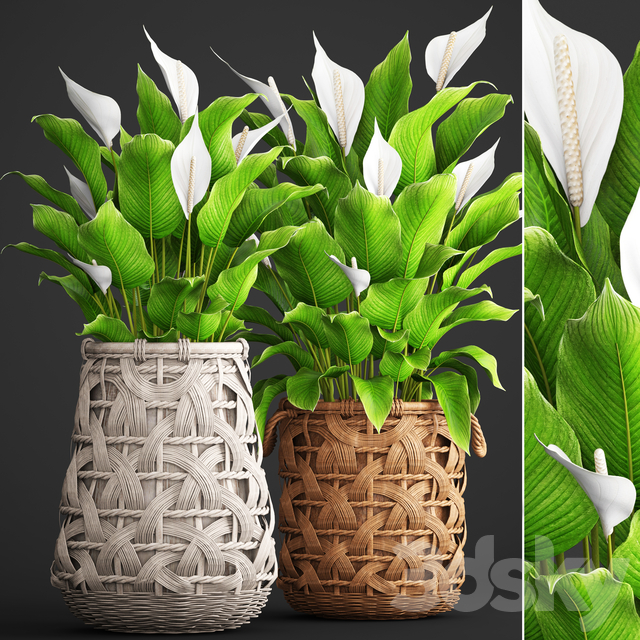 Collection of plants 98. Spathiphyllum