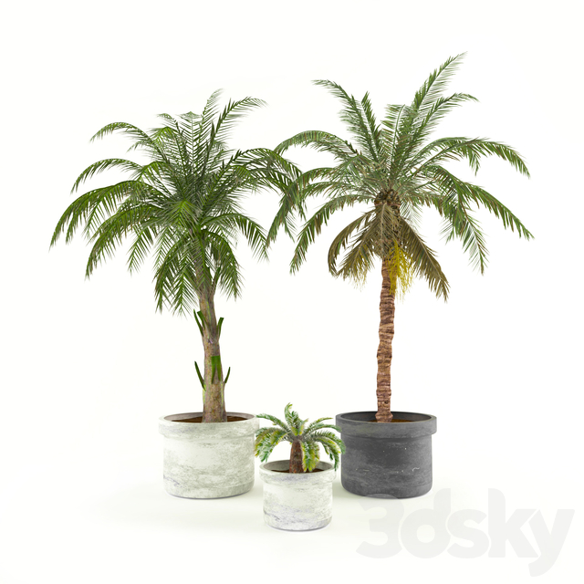 Palms in flower pots