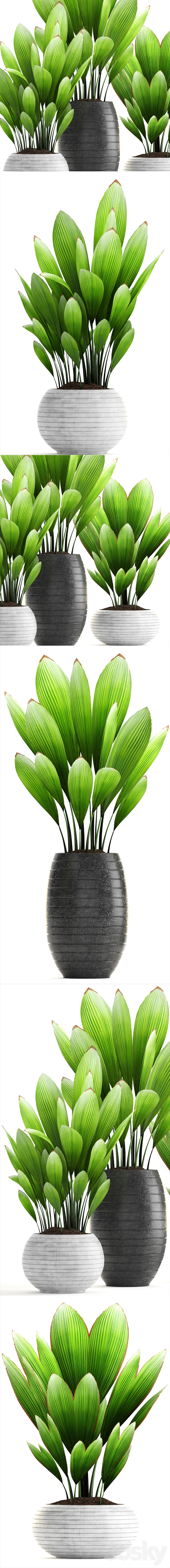Collection of plants 139. Palm Grass