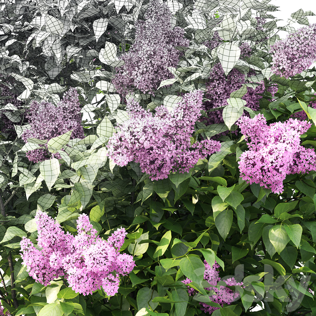 Lilac blooming