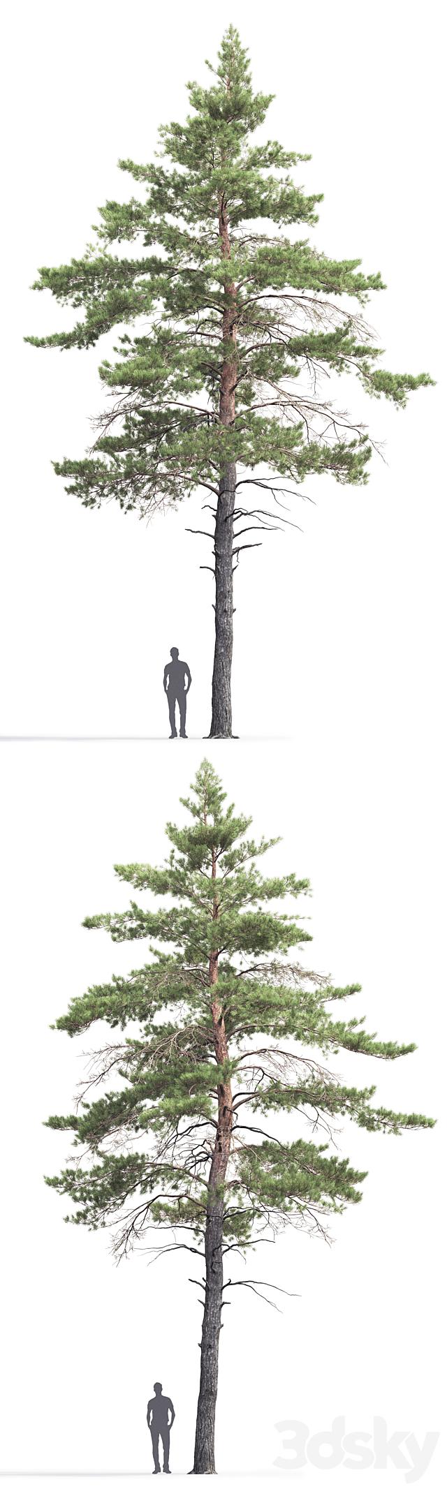 Pine ordinary # 6 (14.5m)