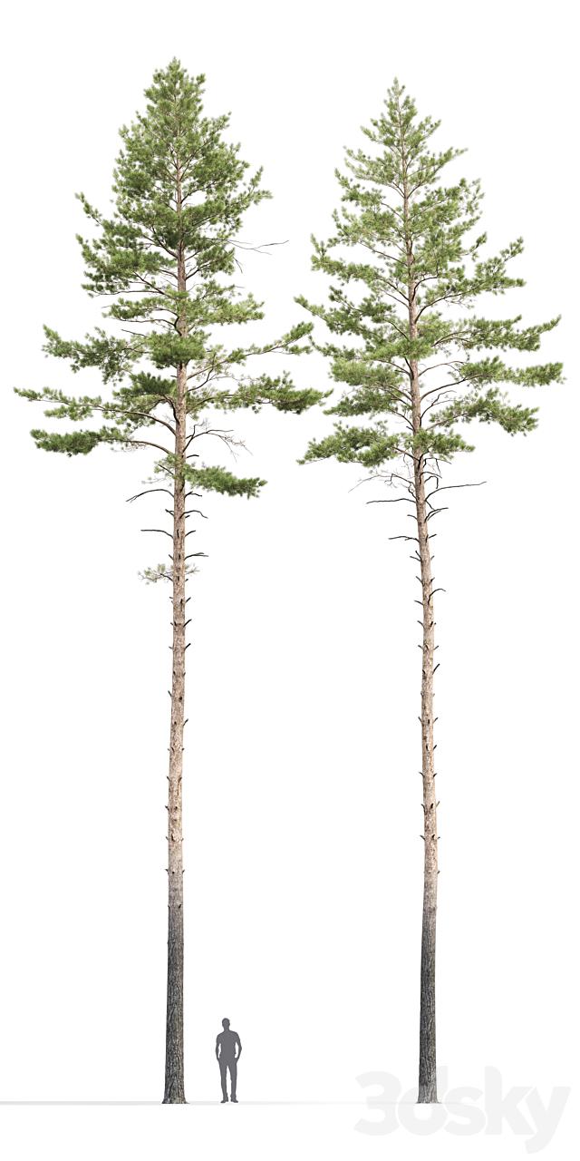 Pine ordinary # 10 (22-23m)