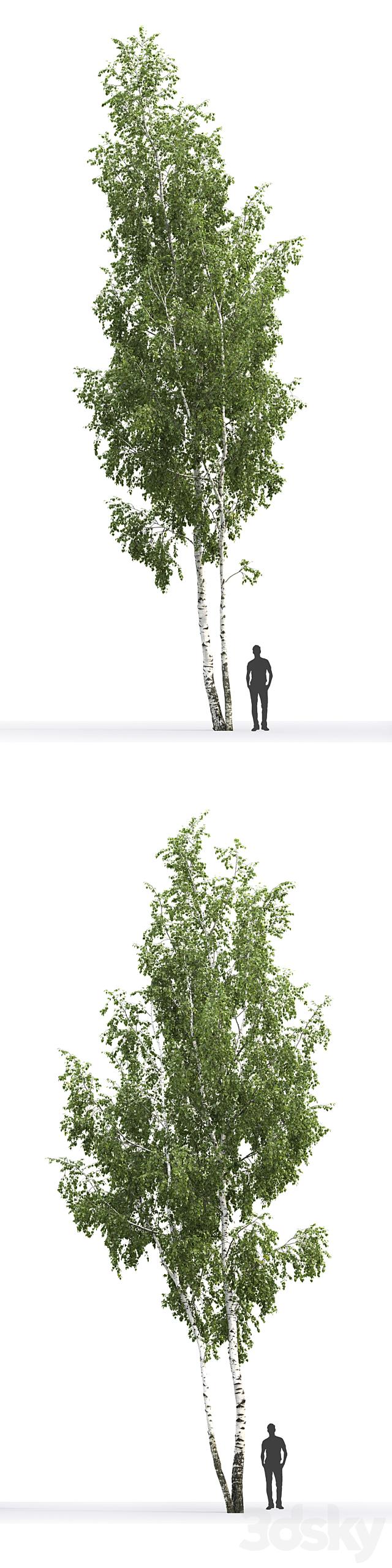 Birch # 6 (14.5m)