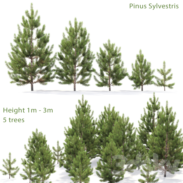 Pine ordinary young # 1 (1-3m)