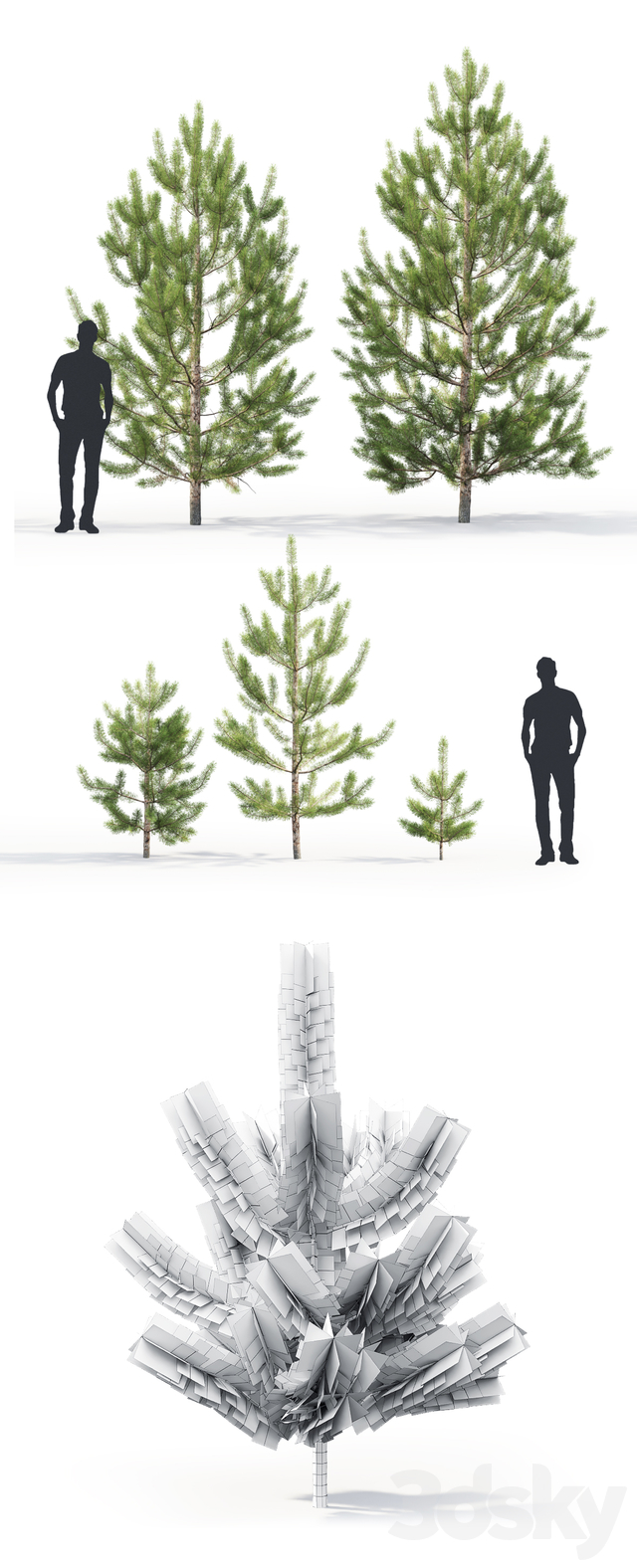 Pine ordinary young # 2 (1-4.3m)