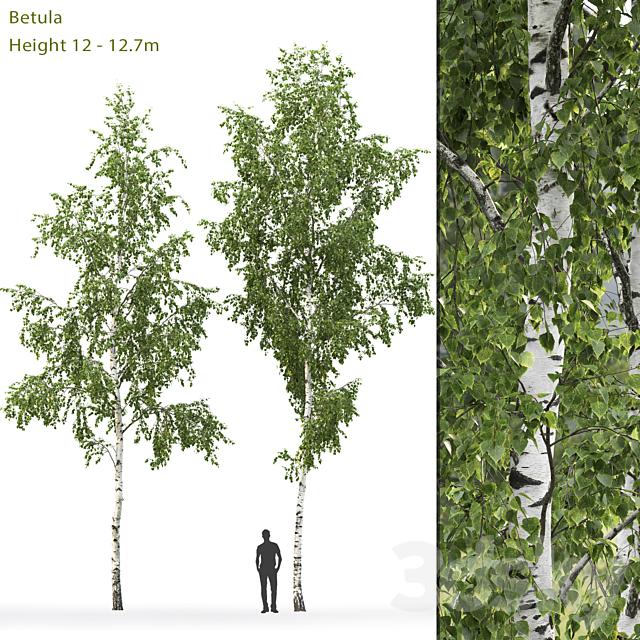 Birch # 8 (12-12.7m)