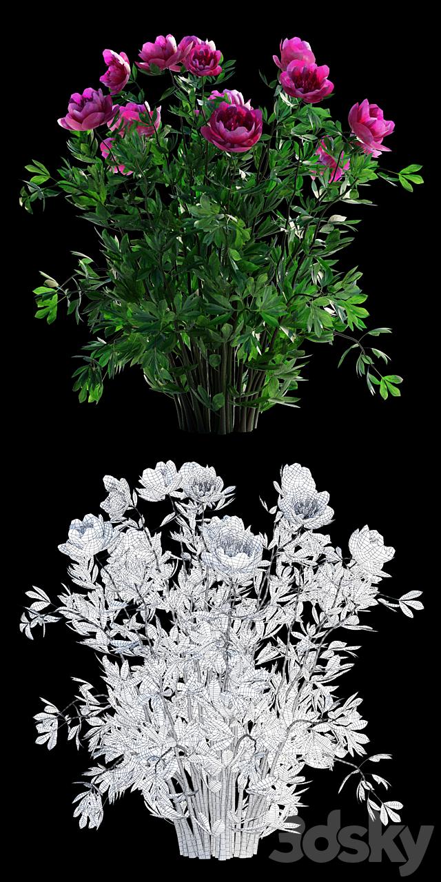 Peony lacticulum | Paeonia lactiflora
