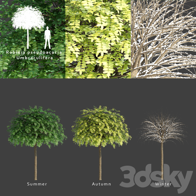 Robinia Umbrakulifera   Robinia pseudoacacia umbraculifera