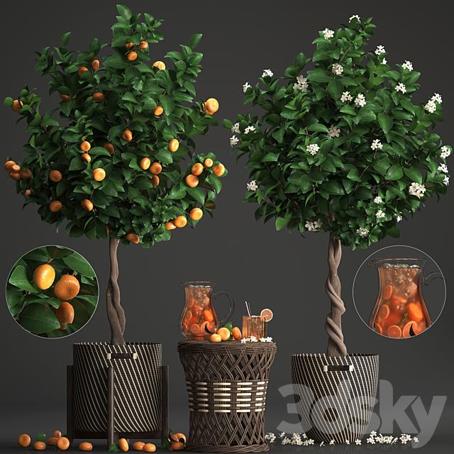 Plant collection 267. Citrus mandarin
