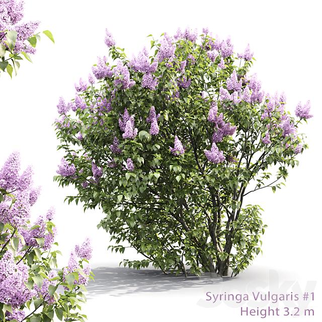 Syringa vulgaris # 1