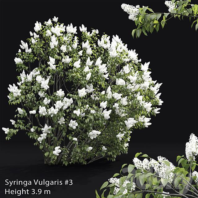 Syringa vulgaris # 3