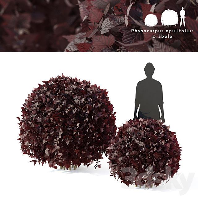 Diabolo 2 bush bush | Physocarpus opulifolius Diabolo sphere
