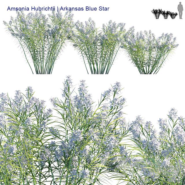 Amsonia Hubrichtii | Arkansas blue star