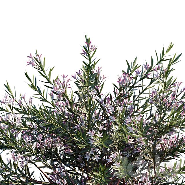 Philotheca Myoporoides Ruby Cascade   Wax Flower