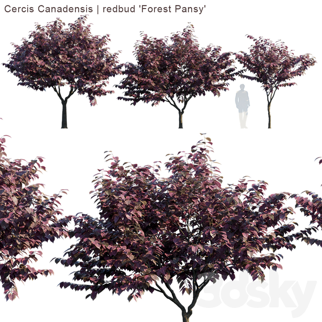 """Cercis Canadensis 