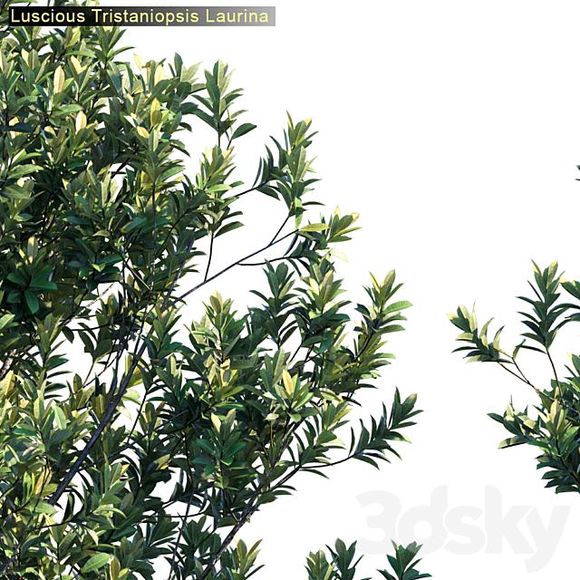 Tristanopsis Laurina # 2