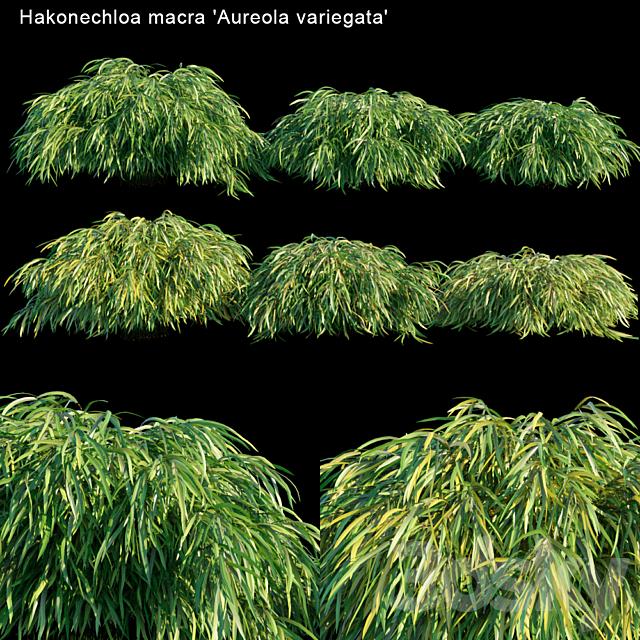 Hakonechloa Macra | Aureola variegata | Japanese grass