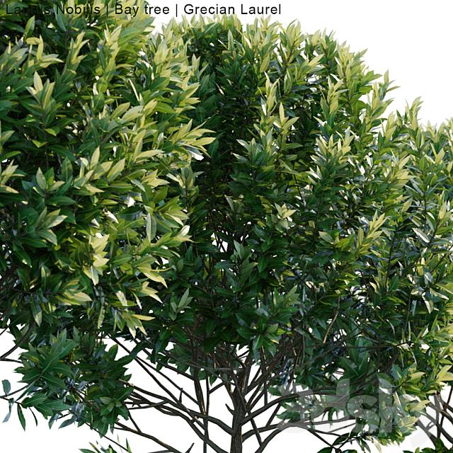 Laurus Nobilis | Bay tree | Grecian Laurel # 1