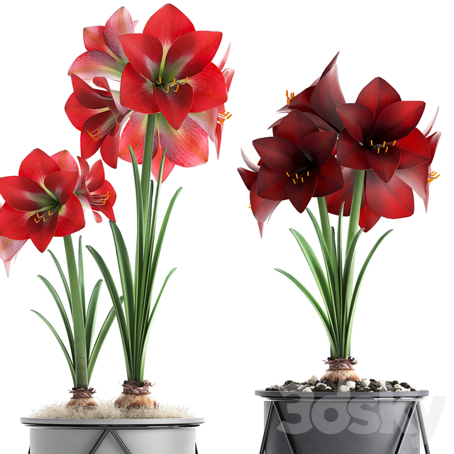 Plant collection 309. Hippeastrum.