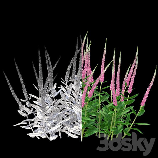 Veronica spike bush | Veronica spicata