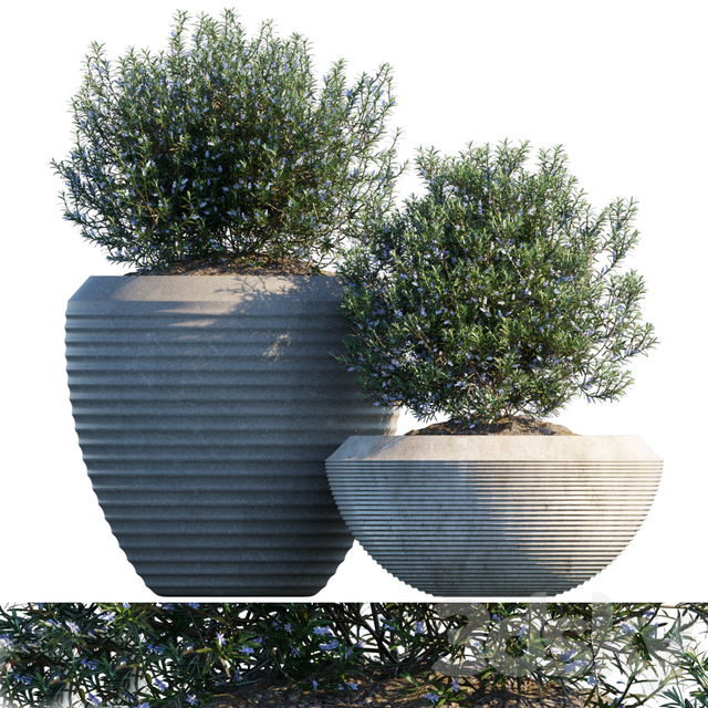 Plant in pots # 17: Rosemary